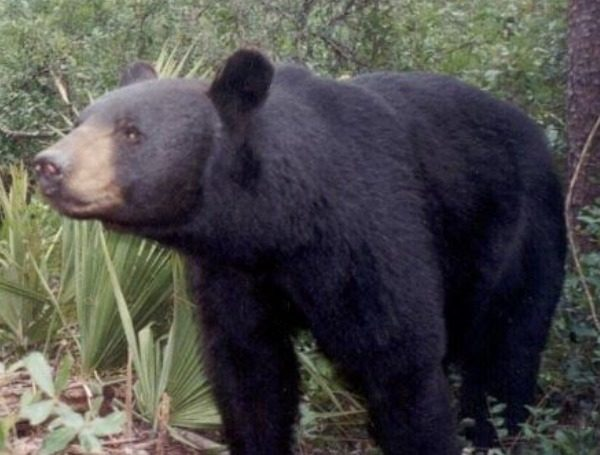 florida's nature bears and species