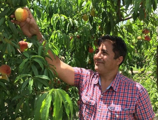 """Dr. Ali Sarkhosh, a UF/IFAS assistant professor of horticultural scienceds, looking at peaches in an orchard. Credit: """"Courtesy, Dr. Ali Sarkhosh, UF/IFAS."""""""