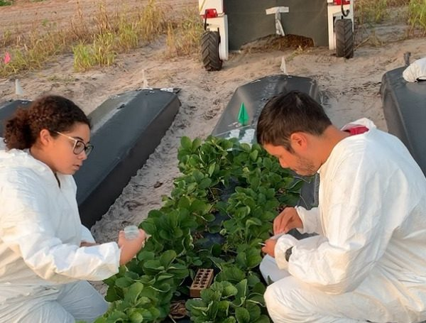 UF study gives strawberry growers a ray